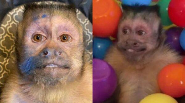 Dono de diversos memes, macaco George morre e web faz homenagens